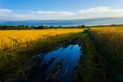 Dämmern Sie auf dem goldenen Gebiet der Gerste und der Hafer Lizenzfreies Stockfoto