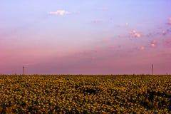 Dämmerung auf dem goldenen Gebiet der Sonnenblume Stockfotos