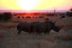 Dämmerung des Nashorns Lizenzfreies Stockbild