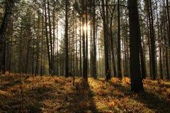 Dämmerung in einem Kiefernwald Lizenzfreie Stockbilder