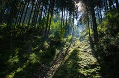 Dämmerung im dichten Wald Stockbilder