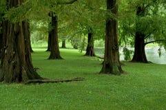 Dämmerung-Rotholz-Bäume Stockbild