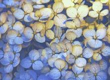 Dämpade gräsplaner för vanlig hortensia kronblad Royaltyfri Foto