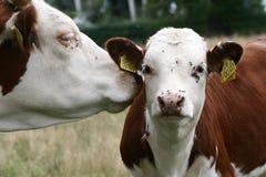 Dänische Kühe Lizenzfreies Stockfoto