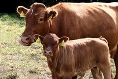 Dänische Kühe Stockbild