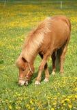 Dänische Pferde Lizenzfreies Stockbild