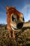 Dänische Pferde Lizenzfreie Stockbilder