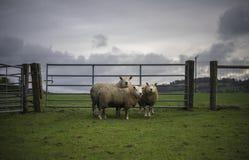 Dänische-RAMs Stockfoto