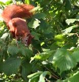 Dänisches Eichhörnchen Stockfoto