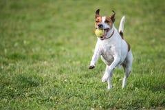 Dänisches Schwede Farmdog Lizenzfreies Stockbild