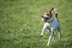 Dänisches Schwede Farmdog Lizenzfreie Stockbilder