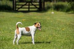 Dänisches Schwede Farmdog Stockfotografie