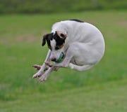 Dänisches/schwedisches farmdog Stockbilder