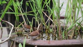 Där Fjällig-gick mot Munia fåglar äter alger i vattnet - bad