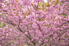 Dåna det dubbla trädet för körsbärsröd blomning Arkivfoto