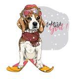 Dé el retrato exhausto del sombrero, de las gafas y de la bufanda que llevan del perro del beagle del esquí Ejemplo de la Navidad imágenes de archivo libres de regalías
