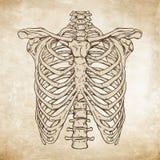 Dé la línea exhausta ejemplo humano anatómico correcto del vector del ribcage del arte stock de ilustración