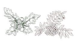 Dé la rama exhausta del serbal del contorno con las bayas rojas y las hojas y las bellotas del roble aisladas en el fondo blanco  stock de ilustración