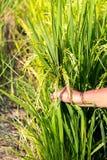 Dé las cosechas del apretón cerca de tiempo de cosecha en campo del arroz Fotos de archivo libres de regalías