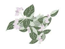 Dé las flores exhaustas del clerodendrum en un fondo blanco Fotografía de archivo