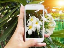 Dé sostener el teléfono móvil para tomar una foto de una flor blanca del plumeria Fotos de archivo libres de regalías