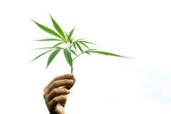 Dé sostener la hoja joven de la marijuana en el cielo blanco Imagen de archivo