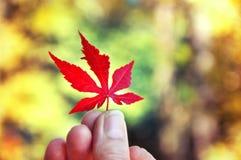 Dé sostener la hoja roja en fondo soleado del amarillo del otoño Fotos de archivo libres de regalías
