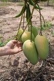 Dé sostener un manojo de mangos verdes y maduros en un árbol en un o Imágenes de archivo libres de regalías