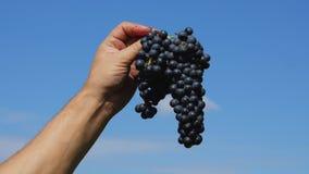 Dé sostener un manojo de uvas contra el cielo azul Imagenes de archivo