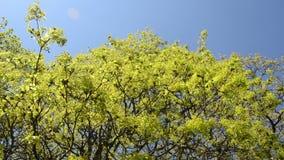 Dé vuelta a la escena del movimiento verde de la rama de árbol de arce en viento sobre el cielo azul metrajes