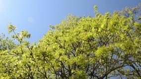 Dé vuelta a la vista del movimiento verde de la rama de árbol de arce en viento sobre el cielo azul almacen de video