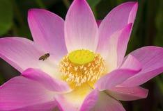 Débarquement sur la fleur de lotus douce Image stock