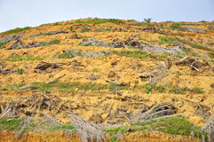 Déboisement et replantation de jeune palmier d'huile Image libre de droits