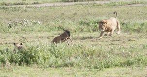 Début du lion 2 de la chasse Photos stock
