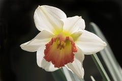 Début mars jonquille de floraison image stock