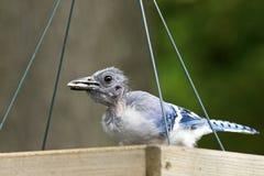Débutant de geai bleu (cristata de Cyanocitta) Images stock