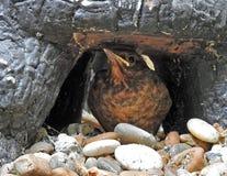 Débutant de merle de bébé se cachant sous la roche photo stock
