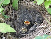 Débutants dans un nid Photos stock