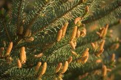 Débuts de cône de pin Images libres de droits