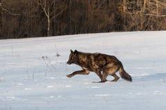 Débuts noirs de lupus de Grey Wolf Canis de phase fonctionnant à gauche photographie stock
