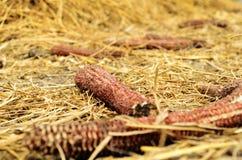 Déchets de maïs Photos libres de droits