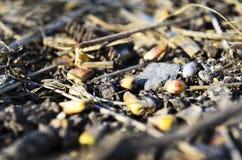 Déchets de maïs Photos stock