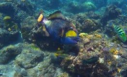 Déclenchez les poissons en récif coralien, poisson de corail de mer de Bali Photos stock