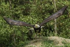 Décollage américain d'aigle Image stock