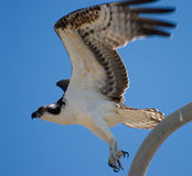 Décollage d'Osprey Photos stock
