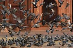 Décollage de pigeons Images stock