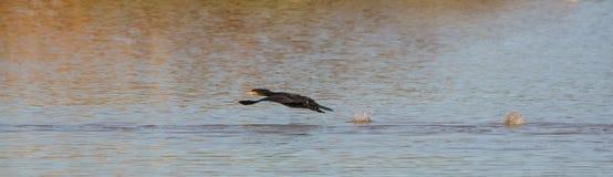 Décollage grand de Cormorant photo libre de droits