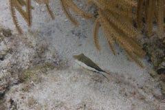 Décolleur de Sharpnose sur Coral Reef photos stock