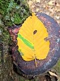 Décoloration de feuille d'automne Images stock