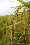 Décoloration de grain de riz Image stock